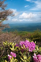 Beautiful view from the Blue Ridge Parkway showing the native Catawba Rhododendron in full bloom