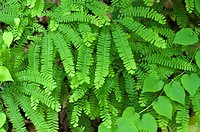 The beautiful Maidenhair Fern, photographed in its native habitat, deep in Great Smoky Mountains National Park  Adiantum pedatum