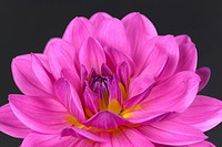 Pink Dahlie,freigestellt auf Schwarz
