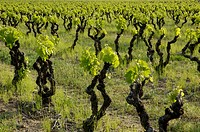 Young vineyards in spring, Drôme, France.