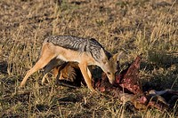 A black-backed jackal scavenges on the leftovers of a lion´s kill