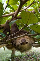 Two_toed sloth _ Cahuita