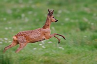 Male roe deer on a spring meadow, Capreolus capreolus, Lower Saxony, Germany, Europe