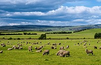 Tasmania _ Ross Surroundings _ Sheep