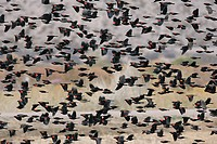 Red_winged Blackbird Agelaius phoeniceus flock, in flight, U S A