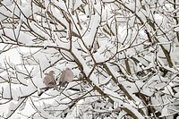 Eurasian Collared Dove Streptopelia decaocto adult pair, perched on snow covered branches in urban garden, Greater Manchester, England, winter