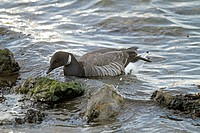 Brent Goose Branta bernicla adult, swimming, feeding on seaweed, Arcachon, Aquitaine, France, march