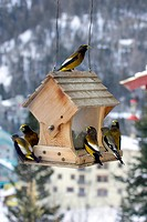 Evening Grosbeak Coccothraustes vespertinus flock, feeding at birdfeeder in snow, U S A