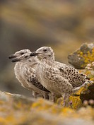 Great Black_backed Gull Larus marinus three chicks, waiting at nestsite, Shetland Islands, Scotland, july