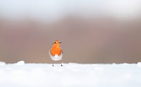 European Robin Erithacus rubecula adult, standing on snow covered ground, Derbyshire, England, january