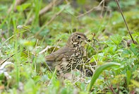 Song Thrush Turdus philomelos adult, collecting moss for nesting material, Sussex, England, spring