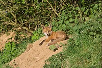 European Red Fox Vulpes vulpes cub, resting in early evening sunshine, at den entrance under hedgerow, Oxfordshire, England, may