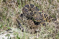 Eastern Diamondback Rattlesnake Crotalus adamanteus adult, in defensive posture, U S A
