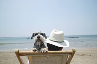 Schnauzer looking over his master´s shoulder at the beach