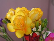 Close_up of Yellow Freesia