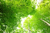 Low angle view of lush green beech trees. Fukushima Prefecture, Japan