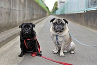 Two pug dogs on leashes