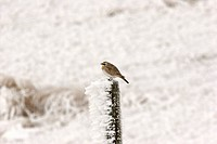 post, lark, fence, frostcovered, perched, horned