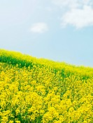 A field of oilseed rape blossoms and blue sky. Chiba Prefecture, Japan