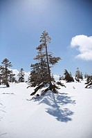 Trees on a snow covered mountain, Niigata Prefecture, Japan