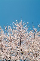 Cherry blossom and blue sky