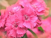 Sweet William DInathus barbatus flowers