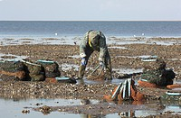 England, Norfolk, The Wash. Mussel fisherman collecting from managed mussel beds at low tide, in The Wash.