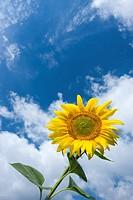Common Sunflower Helianthus annuus, Helianthus aridus, Helianthus lenticularis