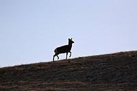 western, deer, habitat, hermionus, odocoileus, mule