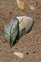 island, leaf, north, beach, seashell, fallen