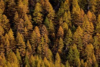 European larches, autumn, Nationalpark Gran Paradiso, Italy