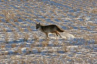 field, running, stubble, snowcovered, through, coyote