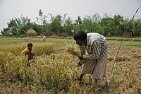 harvesting, food, bangladesh, person, people, family