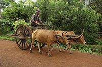 kampong, person, cart, bullock, cambodia, people