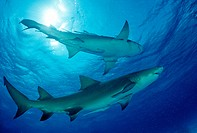 Lemon Sharks, Negaprion brevirostris, Atlantic, Caribbean Sea, Bahamas