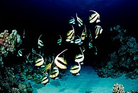 Longfin Bannerfish at Night, Heniochus acuminatus, Red Sea, Sudan