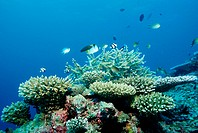 Coral Reef with Branching Corals, Acropora, Indian Ocean, Maldives