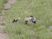 canada, skunk, western, saskatchewan, scenic, striped