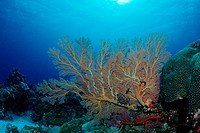 Sea Fan in Coral Reef, Annella spec., Pacific, Micronesia, Palau