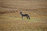 saskatchewan, standing, scenic, field, stubble, coyote