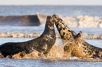 Grey Seal Halichoerus grypus male and female in sea, female so far rejecting male's advance to mate, Lincolnshire, UK
