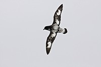 Adult cape petrel Daption capense on the wing in and around the Antarctic peninsula. This petrel is sometimes also called the pintado petrel, the word...