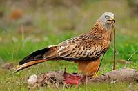 Red kite. Milvus Milvus. Badajoz province. Extremadura. Spain