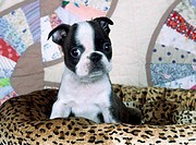 Close_up of a Boston terrier puppy on a dog bed