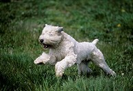 Soft Coated Wheaten terrier running in a park
