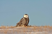 nature winter snowy owl in canada white snow