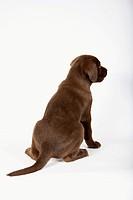 Labrador Retriever dog _ puppy _ sitting