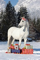 Lipizzan horse with Santa Claus cap next to presents in snow