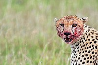 Cheetah (Acinonyx jubatus) with face bloodied after kill -portrait-, Maasai Mara National Reserve, Kenya