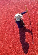 MAN STANDING IN WADERS AMONGST A LARGE RAFT OF VACCINIUM MACROCARPON CRANBERRY AMERICAN CRANBERRY BOG CRANBERRY BERRIES FLOATING IN A POND. CRANBERRY ...